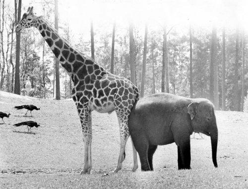 Ele and giraffe