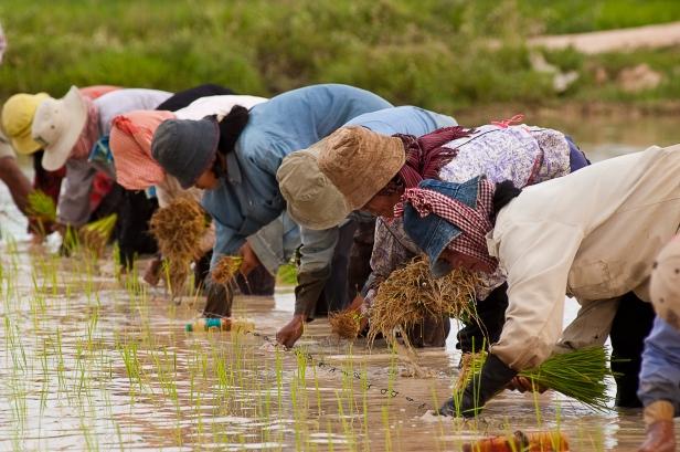 Cambodian farmers planting rice. 2004. Photo: Brad Collis