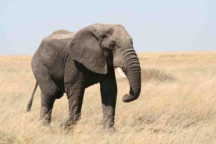 elephant -2