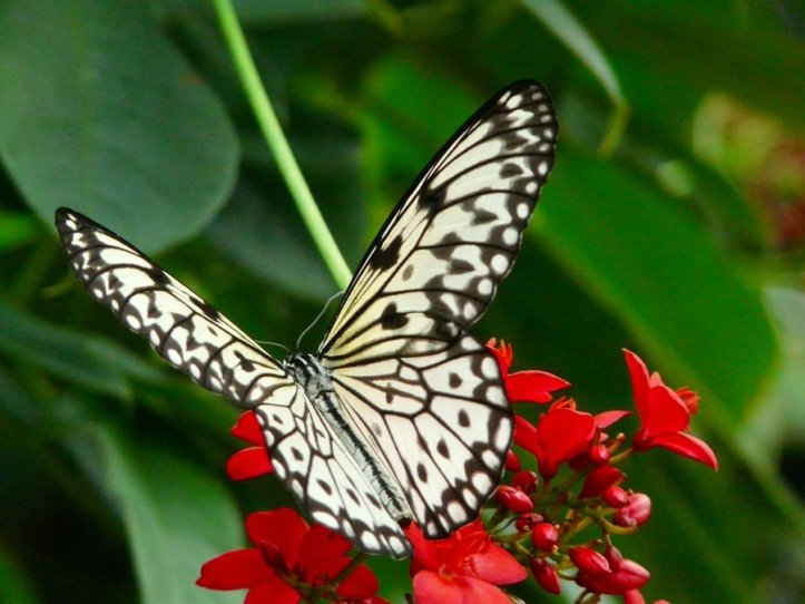 black_and_white_butterfly_by_charlie_trumpet
