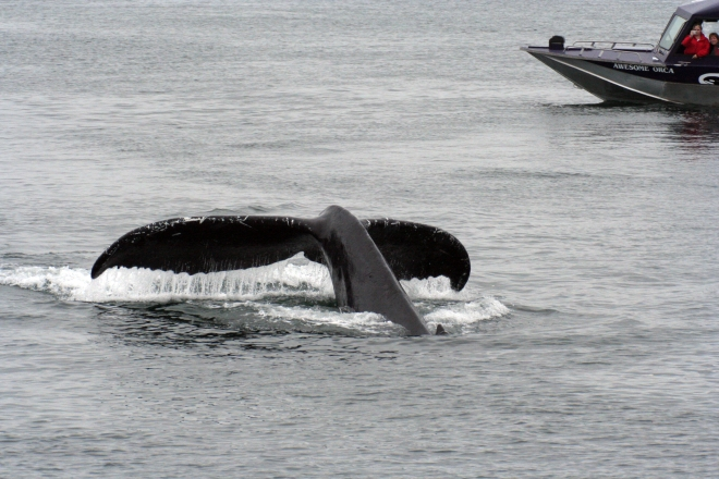 Humpback_Whale_tail_2_(221983826)