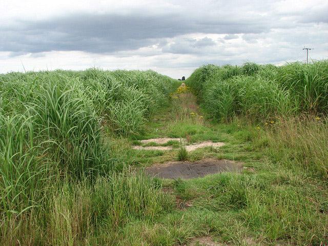 elephant-grass