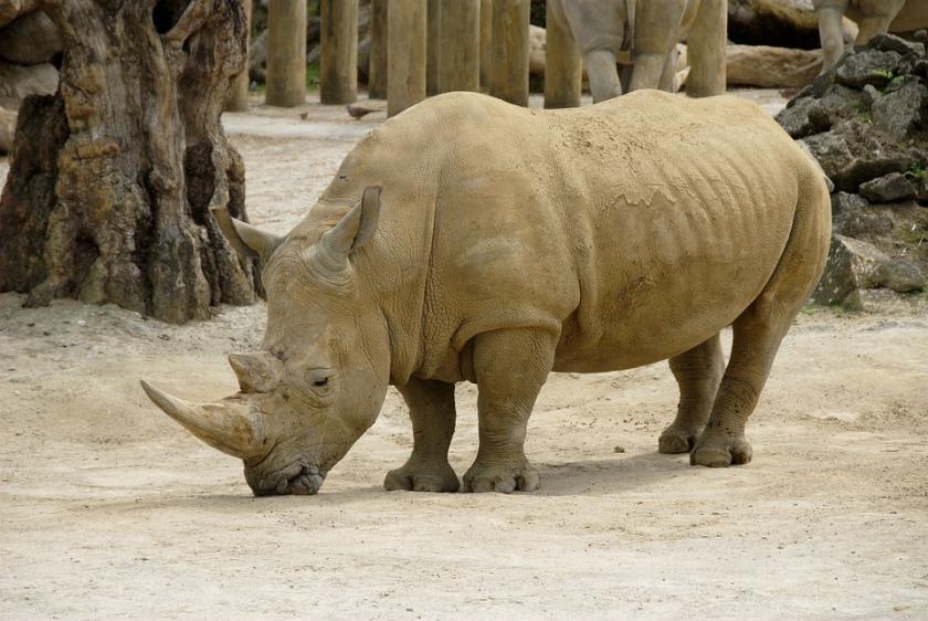 rhinoceros-387226_960_720