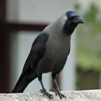 Crow Shit