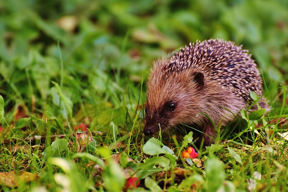 hedgehog-child-1696317_960_720