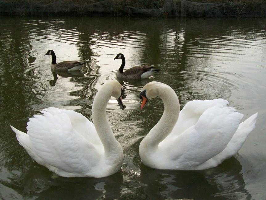 swan_love_4494735232