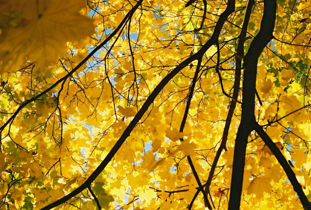 yellow-maple