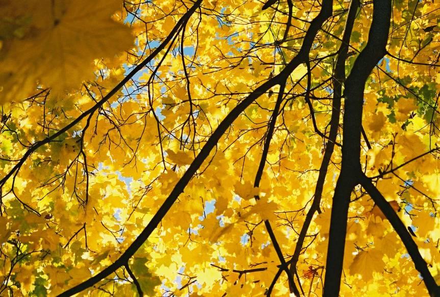 yellow-maple