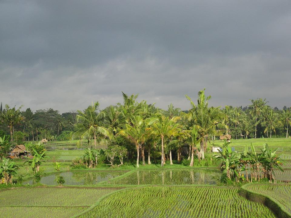 rice-field-203418_960_720