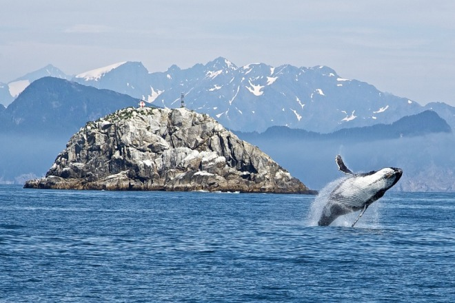 Sea Breaching Ocean Humpback Whale Mammal Animal