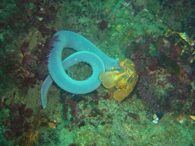 Hagfish_at_the_Oakburn_DSC09110