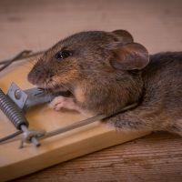 Catching A Rat