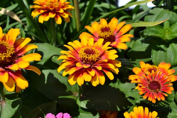 Summer Nature Zinnia Yellow Orange Flora Flowers
