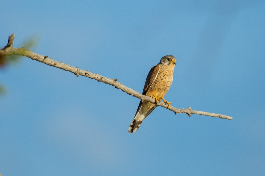 Bird Kestrel