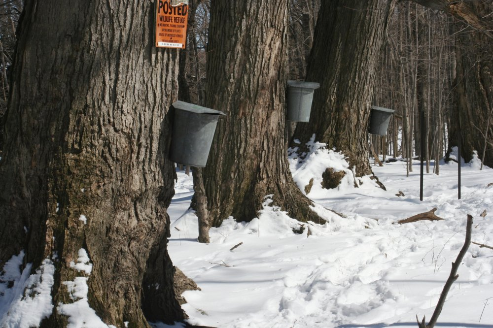 Maple sap
