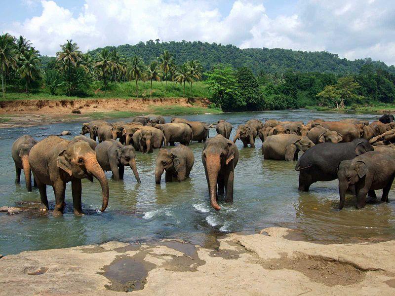 Pinnawala_elephant_orphanage