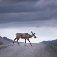 Haikus on Caribous