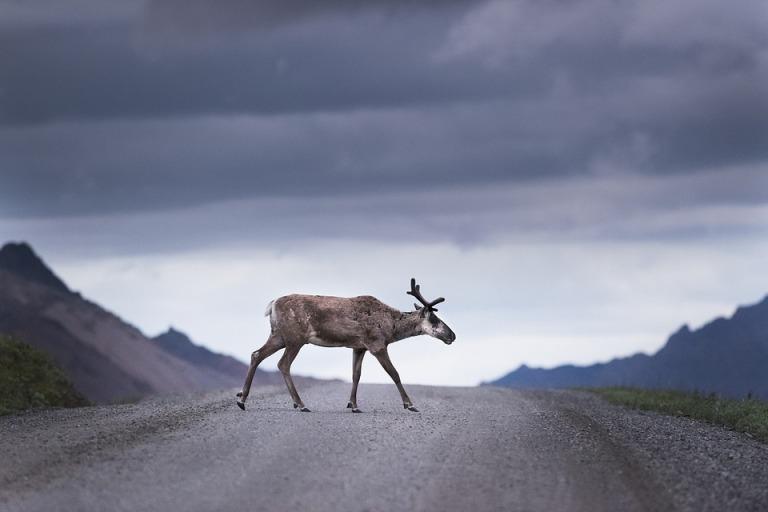 caribou-3714113_960_720